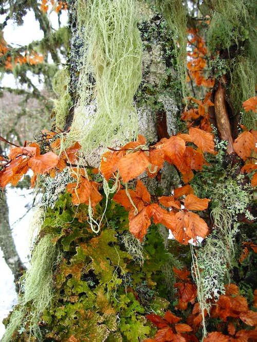 Lichens on a beech