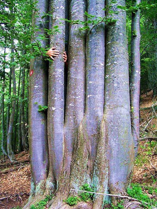 Beech tree on Ciprnik