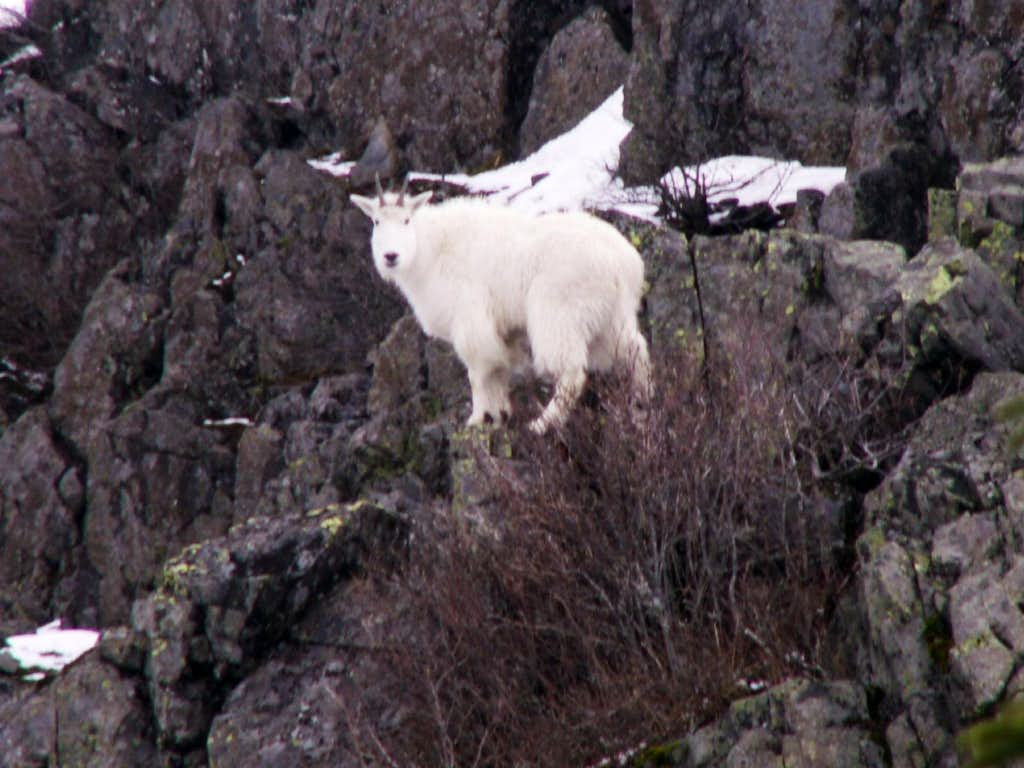 Mountain Goat seen on Pyramid Rock