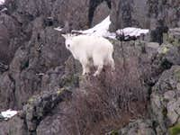 Mountain Goat seen on Pyramid Rock