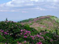 Rhody at Roan Mtn