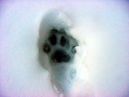 Mountain lion snow print