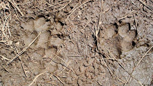 Mountain lion tracks in the mud