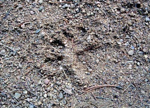 Mountain lion track in gravel