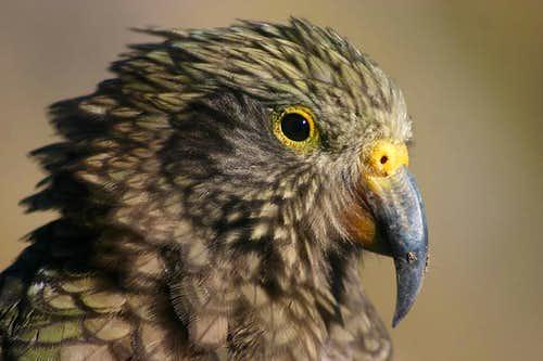 Kea Closeup