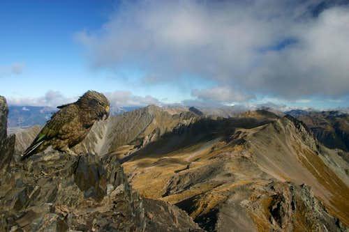 Kea on Avalanche Peak