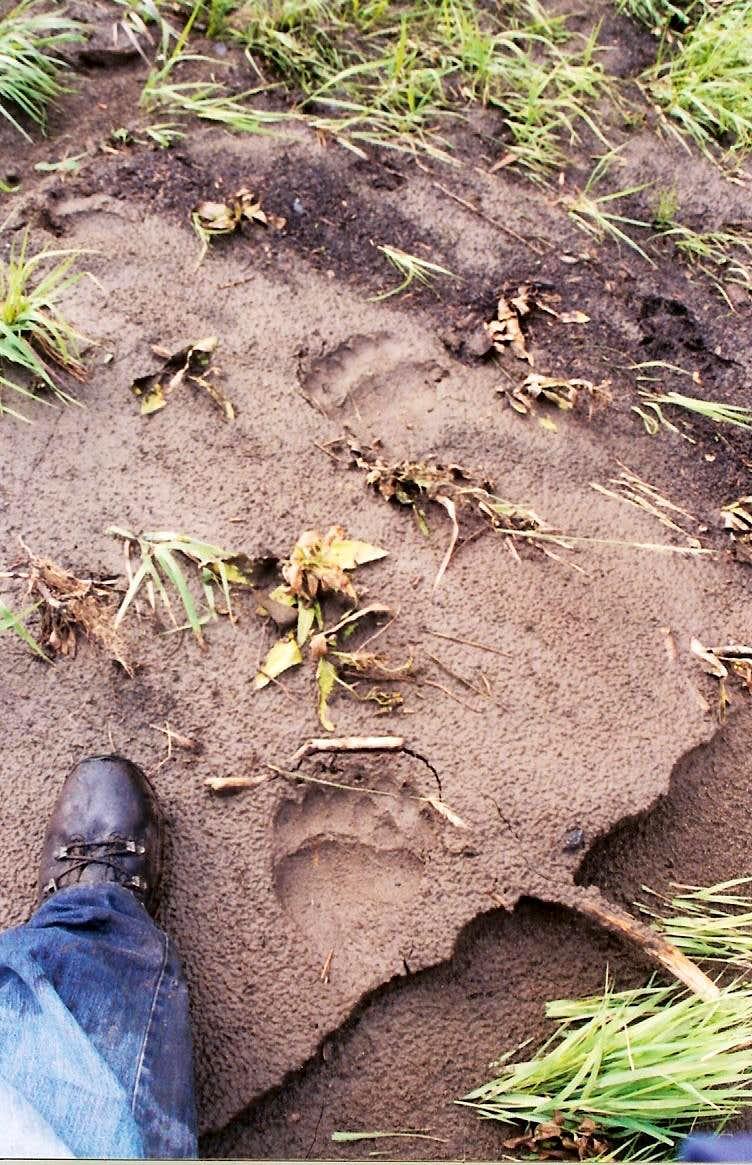 Fresh grizz tracks