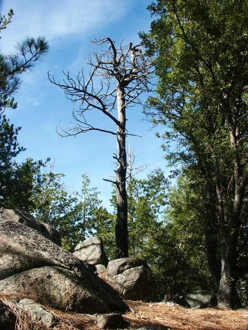 Dead pine tree on the summit...