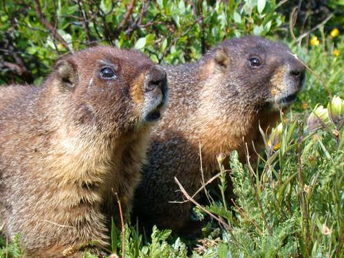 Marmots prior to their...