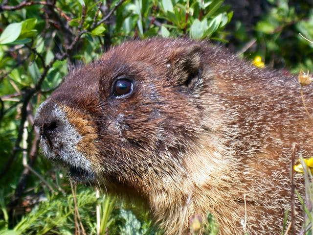 Bastard marmot that ran off...