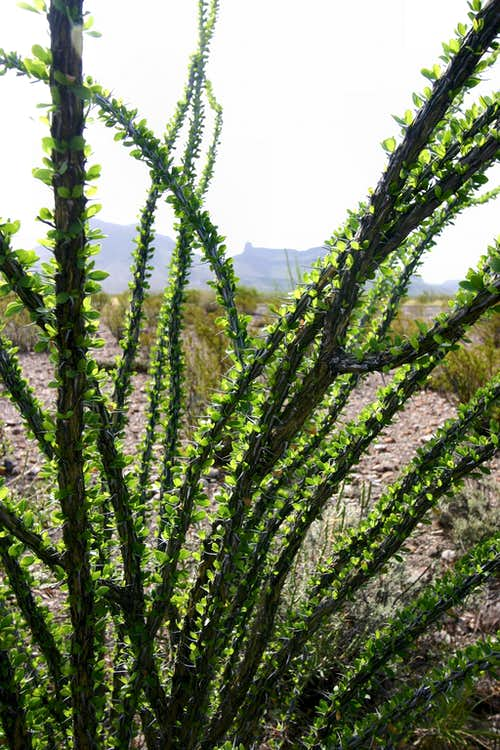 Ocotillo with Leaves
