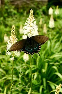 Eastern Black Swallowtail and Fly Poison in Shenandoah