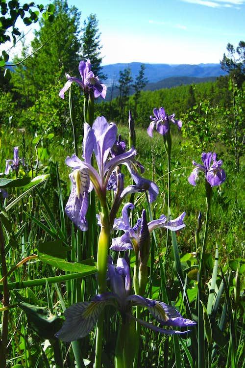 Rocky Mountain Iris