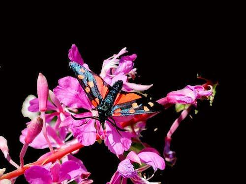zygaena philipendulae