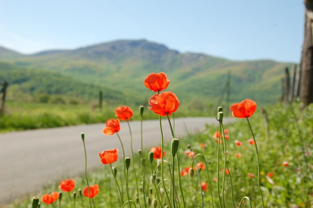 Old Rag and Poppies