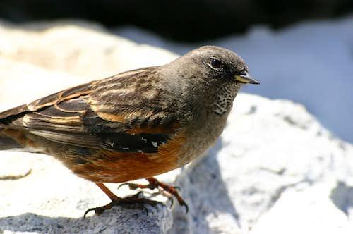 Little bird at the summit of Kala Pataar (5545m), Nepal.