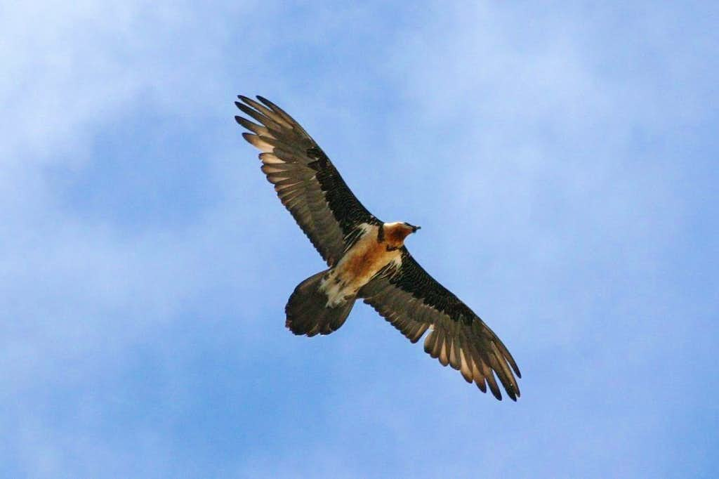 Bird of prey (lammergeier) near Chukkung, Nepal.