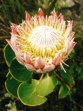 The most famous Fynbos plant...