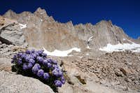 Sky Pilot Flowers, Mount Whitney