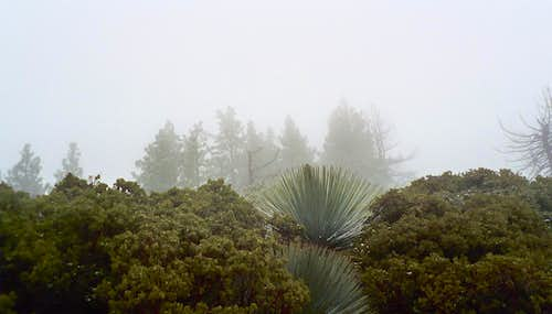 Yuccas in the Mist