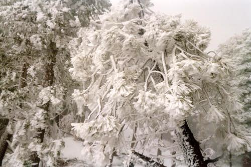 Ice and Snow Formations in the Pine Trees