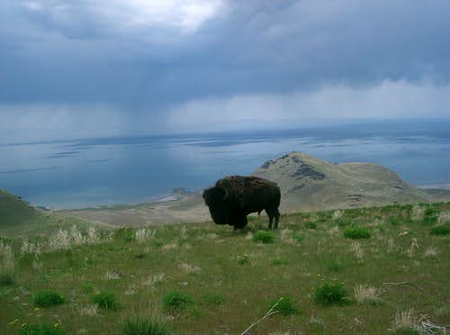 Buffalo on Frary Peak Trail