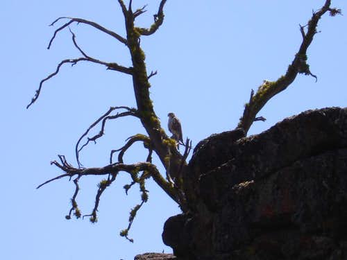 A Falcon or a hawk along the top of The Crack