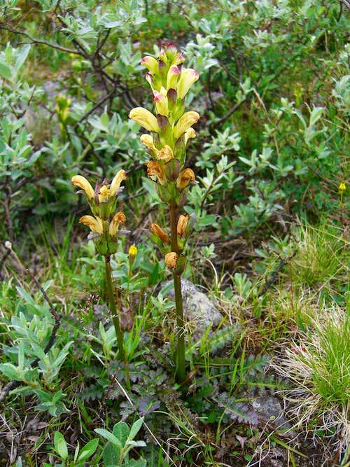Kongsspir (Pedicularis sceptrum-carolinum)