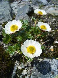 Issoleie (Ranunculus glacialis)