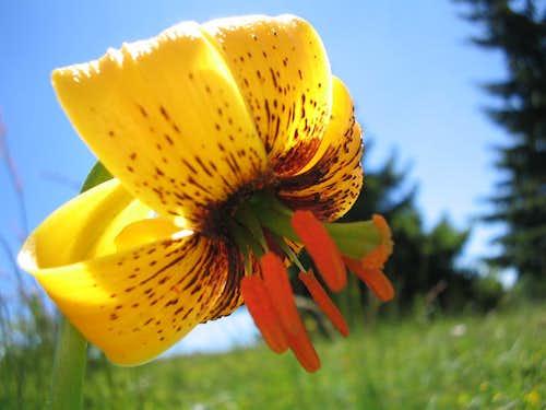 Lillium Bosniacum