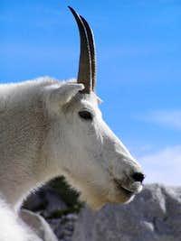 Enchanting Enchantments Goat