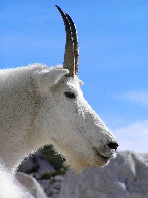 Enchanting Enchantments Goat