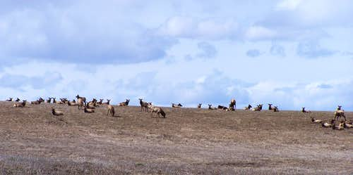 Large Spring Elk herd