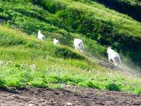 Goats flee