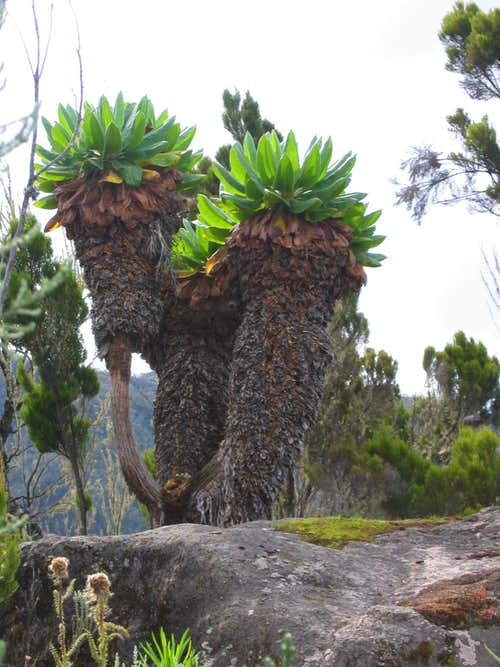 Kilimanjaro Flora