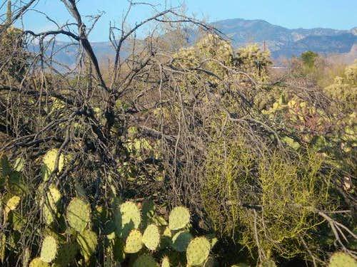 Lemmon rises above the Cactus