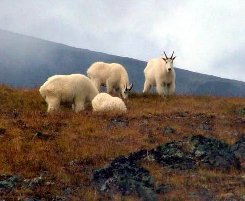 Mountain Goats on Hankin Plateau, BC
