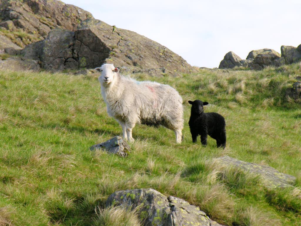 Not Goats- less agile, more wooly