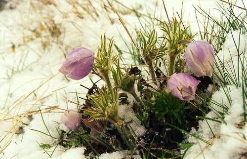 Pasqueflower (Anemone nuttalliana)