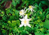 Columbines - my favorite flower