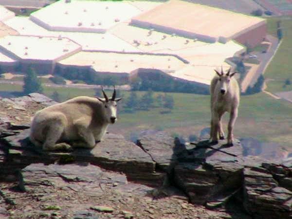 Mountain Goats on Ben Lomond