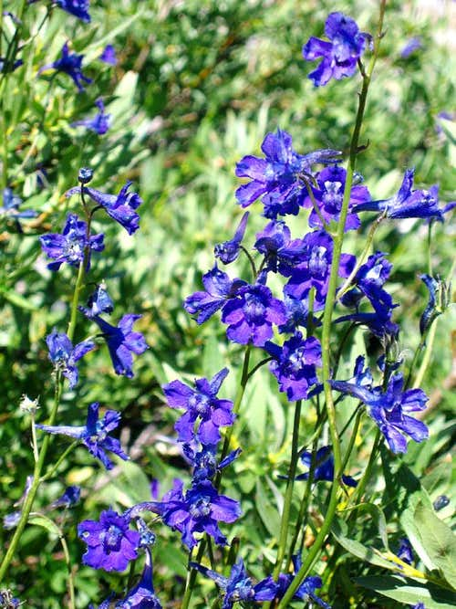 Mountain Marsh Larkspur