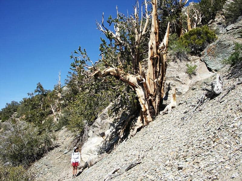 Robin dwarfed by a bristlecone pine