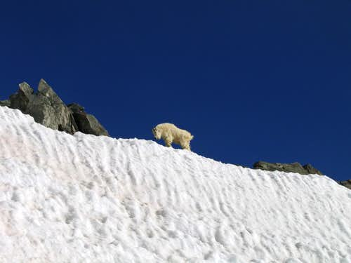 Mountain goat on Kelso Ridge
