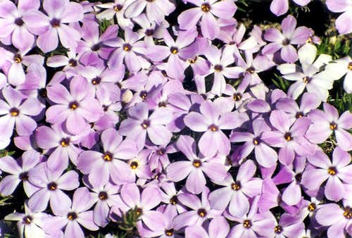 Tufted Phlox