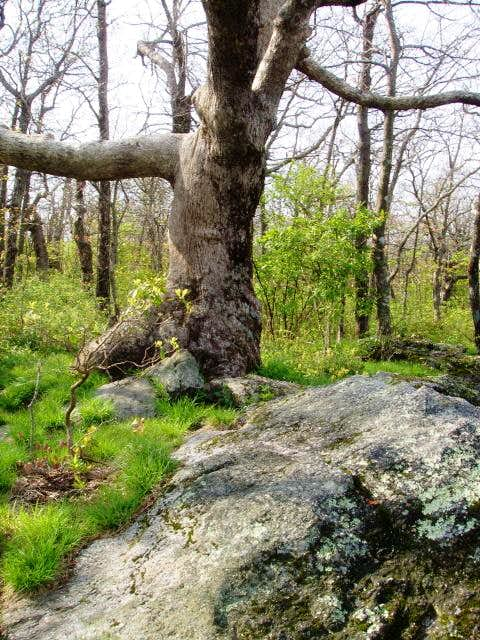 Tree on top of Springer Mountain