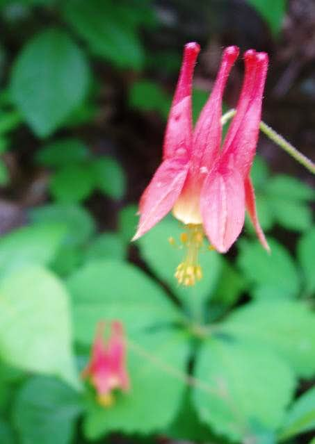 Columbines on Sassafras Mountain