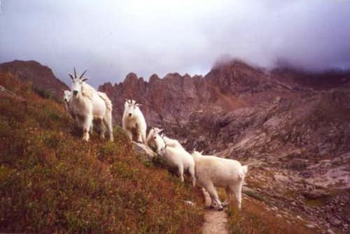Mountain goats congregating...