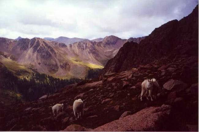 Mountain goats on lower...