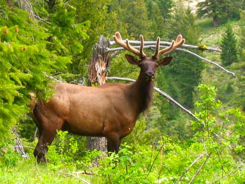 Elk in the velvet